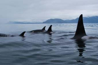 Killer whales surround the lighthouse!