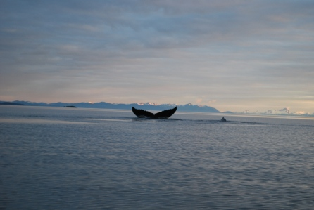 Humpback whales surround Five Finger