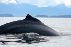 Humpback whales right next to Five Finger