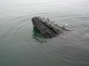 Peek-a-Boo Whale