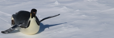 Curious emperor penguin investigates our ship