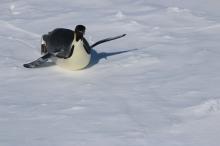 Curious emperor penguin investigates our ship