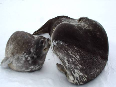 Weddell Seal Mom and Pup. My new favorite animal. (Photo credit Nicoletta).