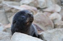 Newborn New Zealand fur seal pup.