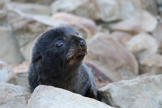Newborn New Zealand fur seal pup.