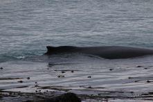 Alaska's coastal whales
