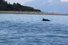 Harbor porpoise in front of our survey point