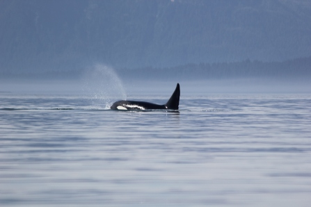 A killer whale encounter